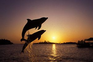 Dolphins: Delphinidae - Physical Characteristics, Diet, Behavior ...
